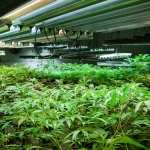 California Drug Cultivation – Charges for Drug Manufacturing